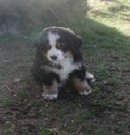 Bernese Mountain Dog Puppies For Sale Pacific Northwest