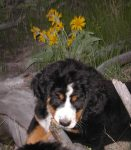 Cute Bernese Mountain Dog Puppy From Shadow Ridge Bernese in Washington State